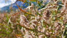 Reed Plumes nos pântanos mediterrâneos 02 video estoque