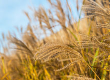 Reed plumes waving in the wind Stock Photography