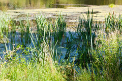 Reed in pond overgrown with slime and duckweed Stock Photography