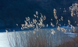 Reed pond in winter Stock Photography