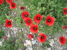 REED POPPIES Stock Photo