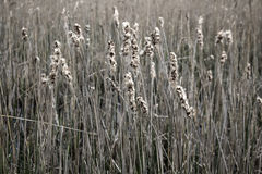Reed pour le fond sur le pré d'automne Photo stock