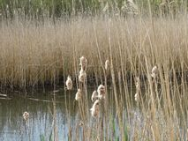 Reed Puddle Dutch Landscape imagem de stock