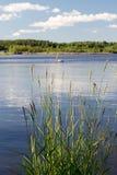 Reed que agita en el viento en agua Imagen de archivo libre de regalías