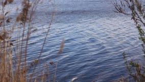 Reed que move-se delicadamente no vento Os juncos dourados macios balançam no vento perto da água Paisagem da mola, natureza em s filme