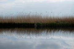 Reed que reflete na água Foto de Stock Royalty Free