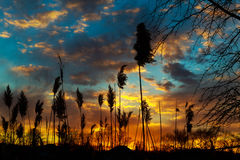 Reed in the quiet evening on a sunset. red dramatic Royalty Free Stock Photos