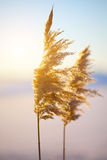 Reed in the quiet evening on a sunset Royalty Free Stock Photo