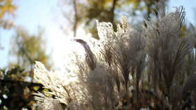 Reed in the rays of  sun stock footage