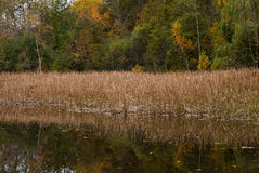Reed Reflection. Reeds reflected in the water during autumn Royalty Free Stock Photo