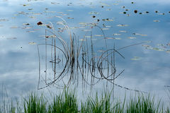 Reed Reflections Stock Images