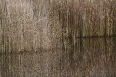 Reed Reflections. Reflections of reed at the edge of a lake Royalty Free Stock Photo