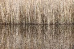 Reed Reflections. Symmetric reflections of reed at the edge of a lake Stock Images
