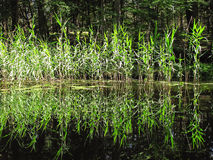 Reed reflections royalty free stock photography