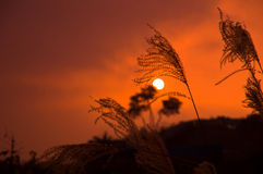 Reeds in sunset glow Royalty Free Stock Images