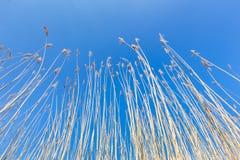 Reed refoule avec des plumes contre le ciel bleu au printemps Images libres de droits