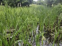 Reed in River Misbourne - wild part of Denham Country Park, Hillingdon, London, United Kingdom