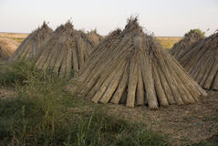 Reed for roof. Romanian agriculture Royalty Free Stock Photography