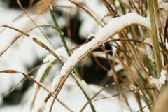 Reed s'est recroquevillé avec la neige photographie stock libre de droits