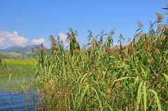Reed (Scirpus gen.) spinney in river Stock Image