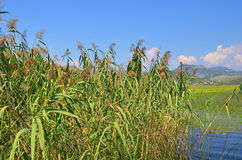 Reed (Scirpus gen.) spinney in river. Montenegro, Europe Stock Images