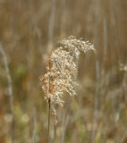 Reed Seedhead. Blown by the wind Stock Images