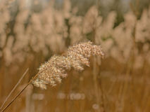 Reed, selective focus Poaceae Stock Image