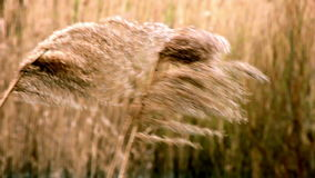 Reed shaking on wind Royalty Free Stock Photo