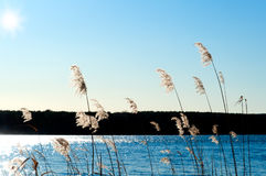 Reed on the shore of a lake Royalty Free Stock Images