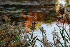 Reed on the shore of the lake in the autumn Royalty Free Stock Images