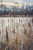 Reed on the shore of the lake Royalty Free Stock Images