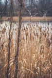Reed on the shore of the lake Stock Photography