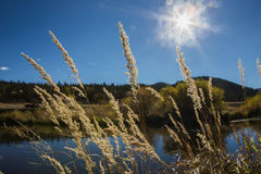 Reed on the shore of a lake. Reeds on the shore of a lake against the light, colorado, usa Royalty Free Stock Images