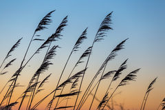 Reed a silhouetté contre le gradient orange de couleur de ciel au coucher du soleil Images libres de droits