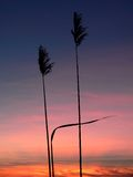 Reed silhouettes. With beautiful sunrise Stock Photos