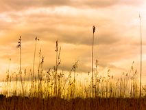 Reed Silhouettes. Silhouettes of sea reeds against colorful sky Stock Photography
