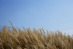 Reed and sky. Reed field and blue sky.It's looks very beautiful Stock Photography