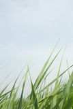 Reed and sky Royalty Free Stock Image