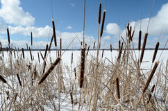 Reed on snow-covered lake, clouds in the blue sky Royalty Free Stock Photo
