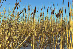 Reed on snow-covered Royalty Free Stock Images