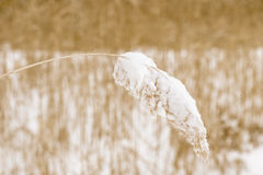 Reed in snow Royalty Free Stock Photo