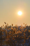 Reed in snow and sun over the sky. Vertical view with reed again. St winter sunset and snow Stock Photography