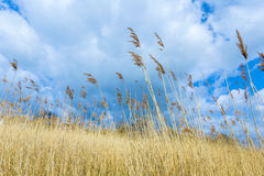 Reed sob o céu nebuloso Fotografia de Stock Royalty Free
