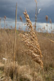Reed Royalty Free Stock Photography