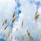 Reed sous le ciel nuageux Image libre de droits