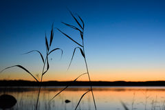 Reed and spider silhouette. Sunrise and finnish lake in backgrou Royalty Free Stock Photo