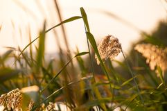 Reed spikelets in the sunset. View of reed spikelets in the sunset, Vacaresti Nature Park Bucharest, Romania Royalty Free Stock Images