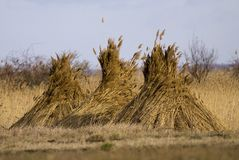 Reed stack Royalty Free Stock Image