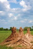 Reed stacks. Three reed stacks in a green field Royalty Free Stock Photos