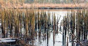 Reed stalks broken down. On the edge of a creek in the Brabantse Biesbosch in the winter season Royalty Free Stock Images